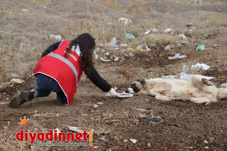 AĞRI sokak Kovid-19 kısıtlamasında gönüllüleri Kızılay - hayvanlarını unutmadı 7
