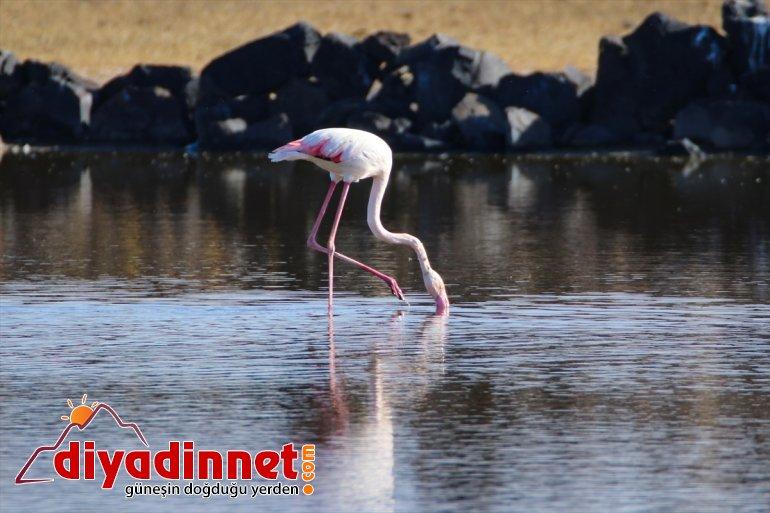 Büyük flamingo Ağrı Dağı Milli Parkı nda beslenirken görüntülendi2
