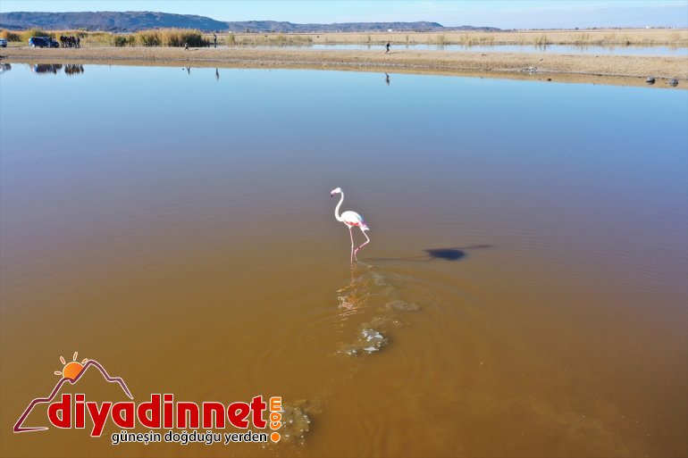 Büyük flamingo Ağrı Dağı Milli Parkı nda beslenirken görüntülendi13