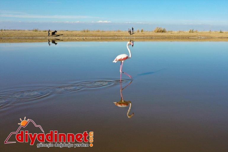 Büyük flamingo Ağrı Dağı Milli Parkı nda beslenirken görüntülendi10