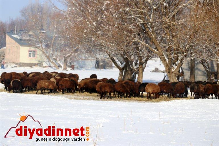 dağ mesaisi zorlu köylerindeki Ağrı'nın kış besicilerin 14