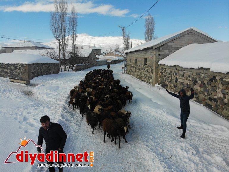 ot için Hayvanları soğukta - karlı dağlardan dondurucu taşıyorlar AĞRI 12