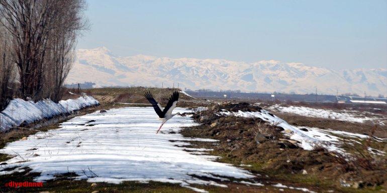 Baharın müjdecisi leylekler erken geldikleri Muş'ta kar sürpriziyle karşılaştı