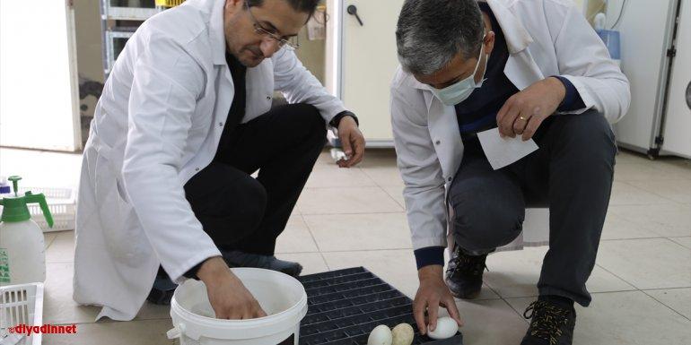 """Bingöl Üniversitesi """"kuluçka merkezi"""" ile kanatlı hayvan yetiştiricilerine hizmet veriyor"""