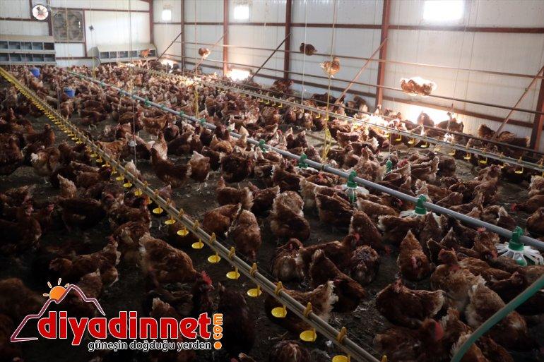Köyüne organik kurdu yumurta emekli dönen için tavuk - üretimi memur, AĞRI çiftliği 8