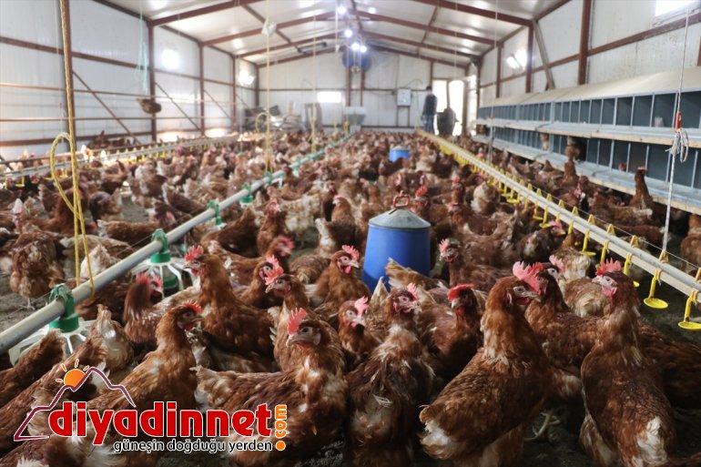 için üretimi Köyüne tavuk organik çiftliği memur, emekli - AĞRI kurdu yumurta dönen 9