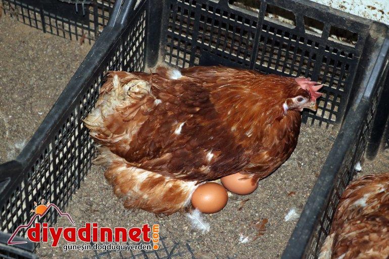 AĞRI kurdu organik - üretimi memur, yumurta tavuk dönen emekli Köyüne için çiftliği 10