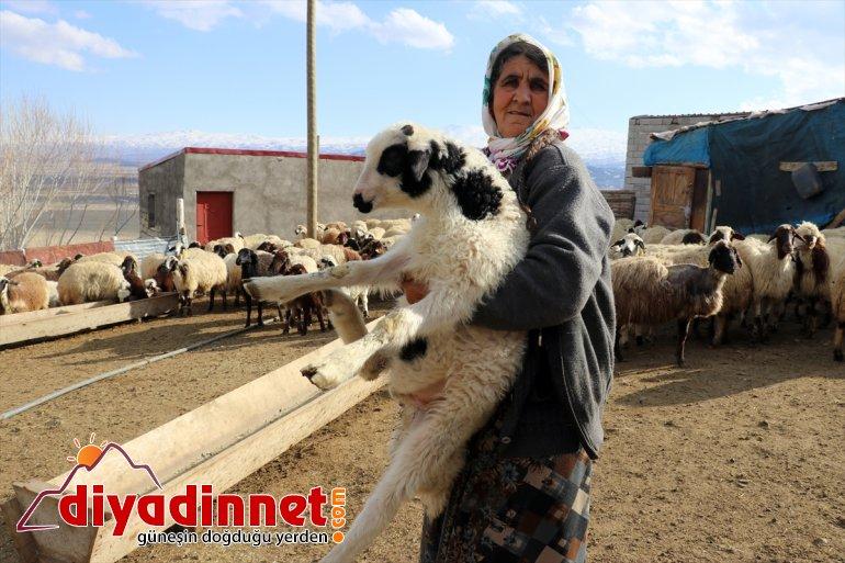 anneleriyle renkli müjdecisi oluşturuyor Ağrı'daki baharın kuzuların köylerde görüntüler buluşması 14