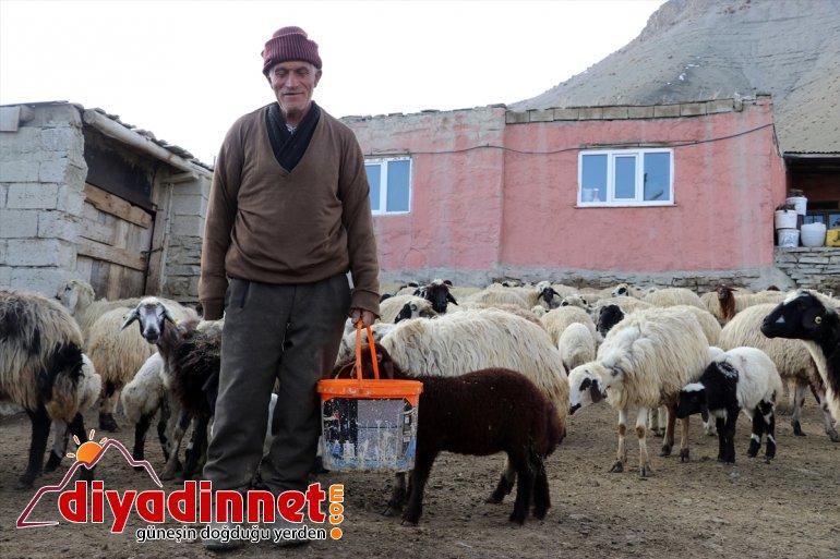renkli kuzuların Ağrı'daki görüntüler baharın köylerde anneleriyle müjdecisi oluşturuyor buluşması 6