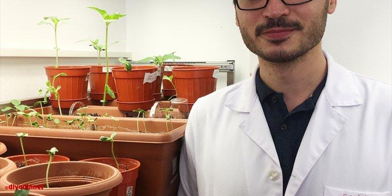 Girişimci akademisyenler yüzde 100 saf ayçiçeği tohumu geliştirdi