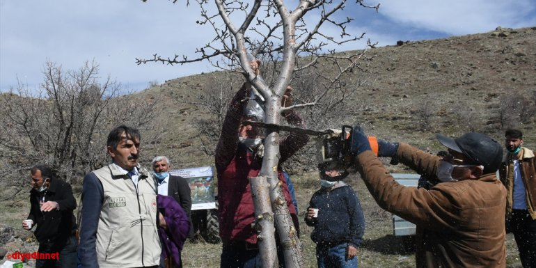 """Malatya'da kırsaldaki ahlat ağaçları aşılanarak """"Akçadağ armuduna"""" dönüştürülecek"""