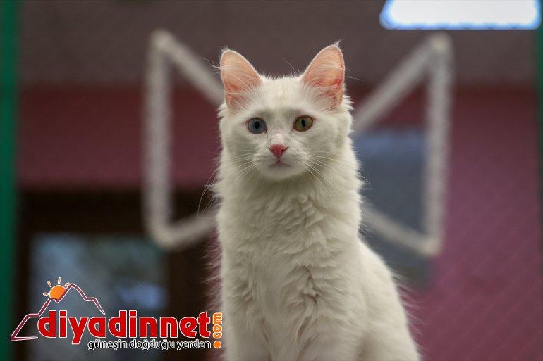 ilk yavrularını Van getirdi dünyaya 2021'in VAN kedileri - 11