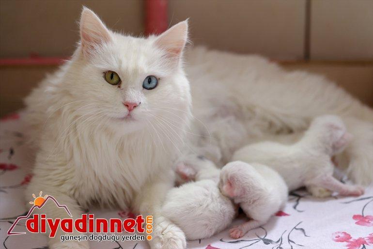 getirdi VAN yavrularını ilk Van dünyaya - kedileri 2021'in 3