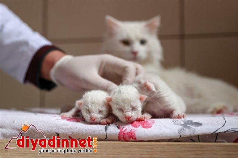 kedileri yavrularını dünyaya - Van getirdi ilk 2021'in VAN 5