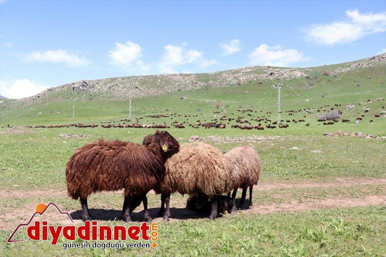 Doğanın - başlıyor AĞRI mesailerine yayla zorlu çobanları canlandığı Ağrı'da 11