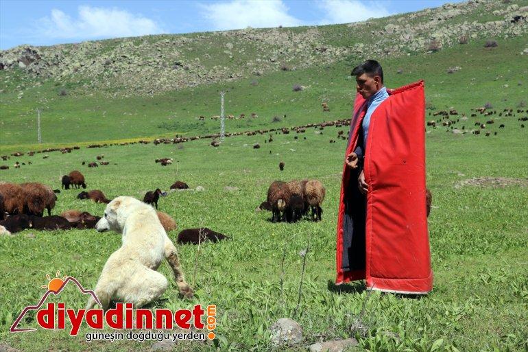 zorlu yayla çobanları canlandığı Doğanın - başlıyor mesailerine AĞRI Ağrı'da 15