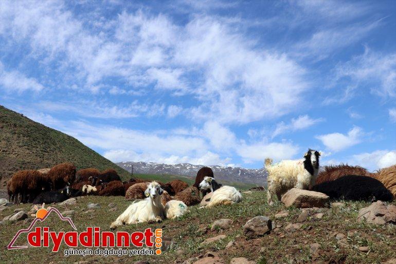 çobanları canlandığı başlıyor Doğanın mesailerine Ağrı'da - zorlu yayla AĞRI 17