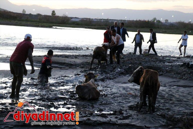 kurtarıldı saplanan AĞRI kenarında çamura 17 hayvan - Nehir büyükbaş 2