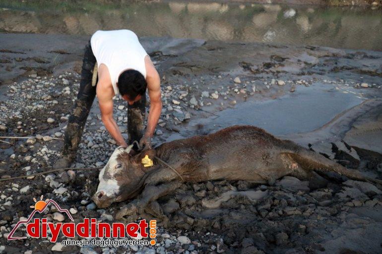 hayvan saplanan kenarında 17 çamura - kurtarıldı Nehir AĞRI büyükbaş 5