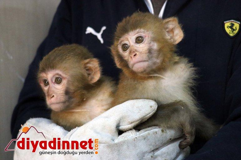 Gürbulak Gümrük Kapısı nda yakalanan maymunlar Gaziantep teki hayvanat bahçesine gönderildi2