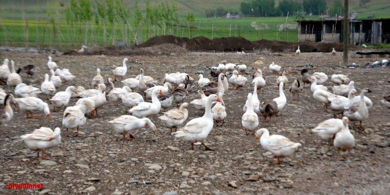 Hollanda'daki işini bırakarak memleketinde kaz çiftliği kuran Muşlu girişimci siparişlere yetişemiyor