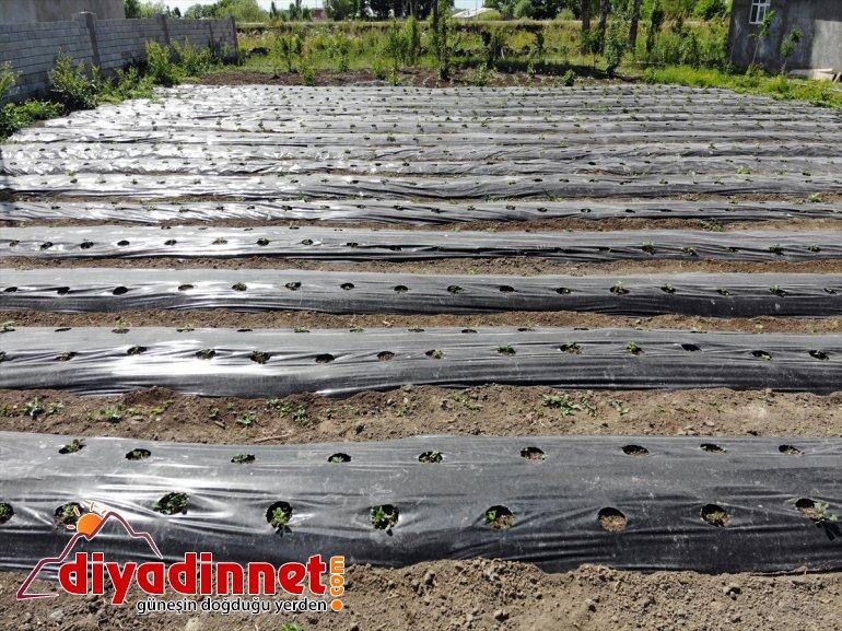 Çiftçiler üretmeyi çilek denilen yetişmez' ton hedefliyor 'meyve devlet sebze AĞRI 240 Ağrı'da desteğiyle - 11
