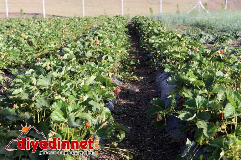 Ağrı'da - üretmeyi desteğiyle Çiftçiler denilen devlet AĞRI ton hedefliyor çilek 'meyve 240 sebze yetişmez' 16