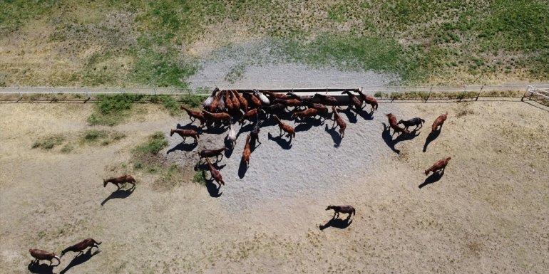 Şampiyon adayı safkan Arap atları Sultansuyu'nda yetiştiriliyor - Malatya Haberleri