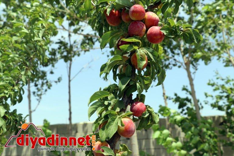 dönüştürdü ağaçlarıyla araziyi vahaya meyve Dağı çorak eteklerindeki Ağrı 3