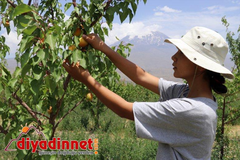 ağaçlarıyla dönüştürdü meyve çorak Ağrı vahaya eteklerindeki Dağı araziyi 6