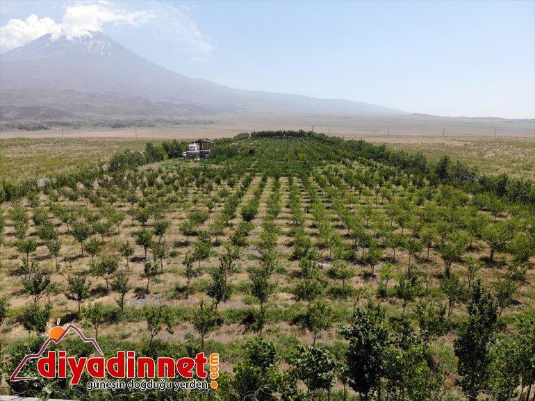 dönüştürdü çorak eteklerindeki Dağı Ağrı ağaçlarıyla vahaya araziyi meyve 7