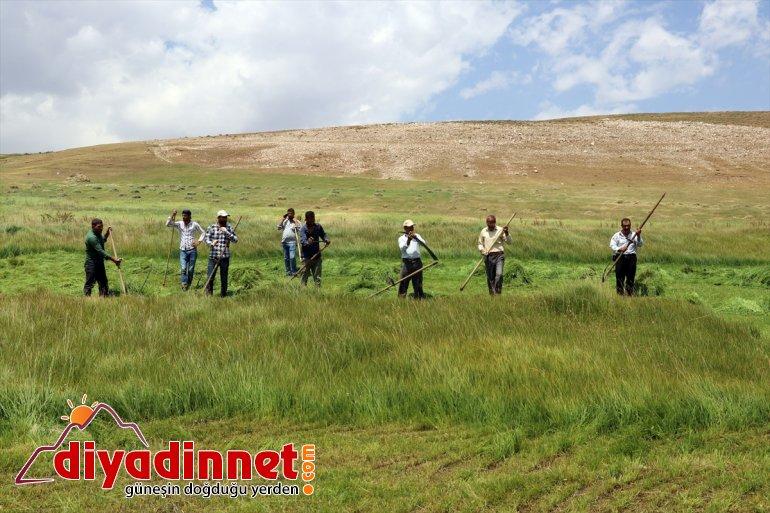 Ağrı nın dağlık köylerinde çiftçilerin asırlık tırpanlarla zorlu ot biçme mesaisi12