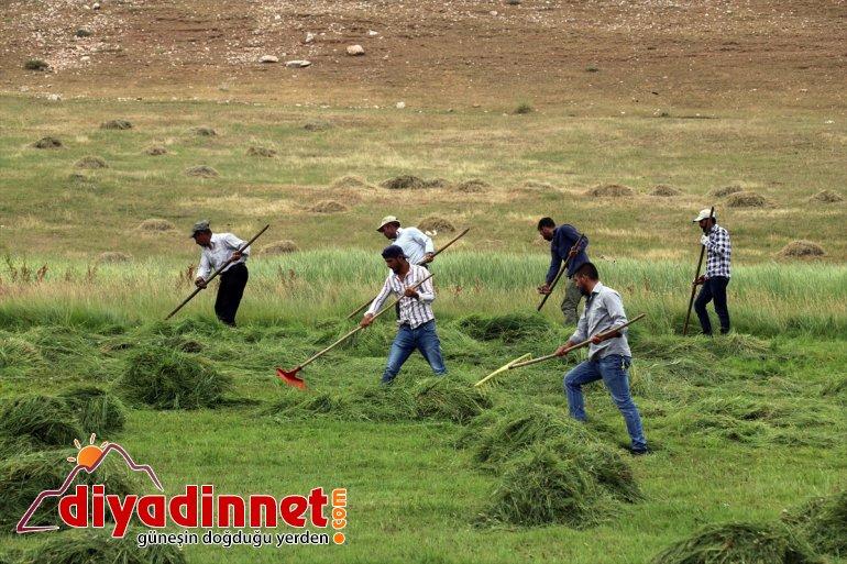 Ağrı nın dağlık köylerinde çiftçilerin asırlık tırpanlarla zorlu ot biçme mesaisi6