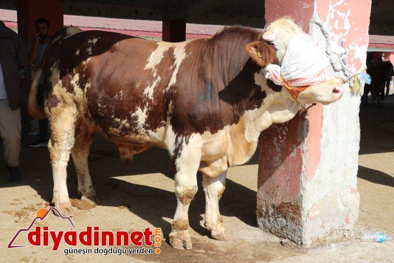 Türkiye nin hayvancılık merkezlerinden olan Ağrı daki pazarda Kurban Bayramı yoğunluğu yaşanıyor12