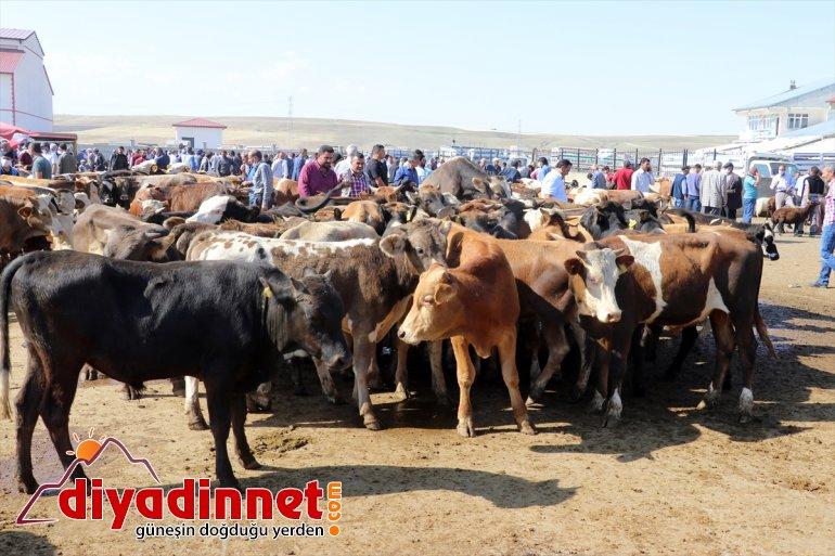 Türkiye nin hayvancılık merkezlerinden olan Ağrı daki pazarda Kurban Bayramı yoğunluğu yaşanıyor17
