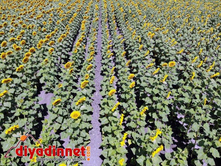 gelin artan desteğiyle çiftçiye kazanç AĞRI - sarı kat üretimi Ağrı'ya getirdi 5 Devlet güzellik 11