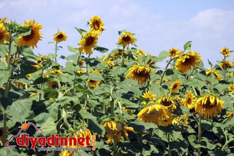üretimi Devlet desteğiyle 5 AĞRI Ağrı'ya kat artan güzellik çiftçiye gelin sarı - getirdi kazanç 17
