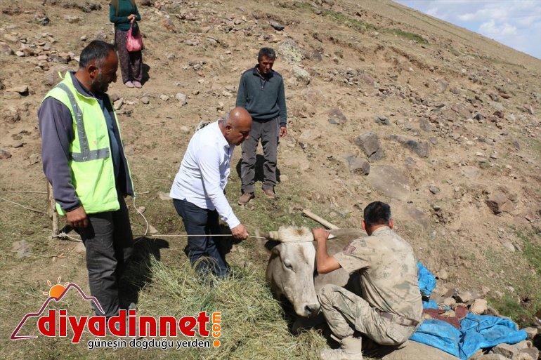 Ağrı'da dağlık alanda mahsur kalan yaralı ineğe ekipler kepçeyle yol açarak ulaştı1