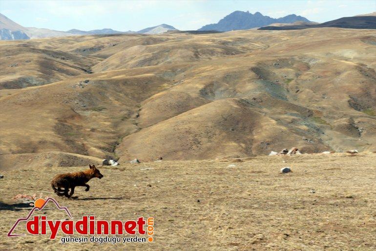 4 AĞRI beslenen kurt dağda salındı ay - 5 doğaya Yavruyken bulunup 4