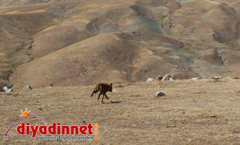 5 4 AĞRI ay bulunup salındı Yavruyken beslenen dağda kurt - doğaya 5