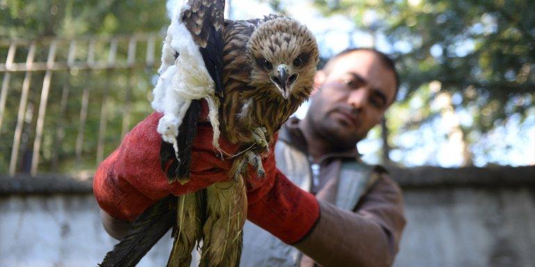 Bingöl'de yaralı kızıl şahin tedavi altına alındı
