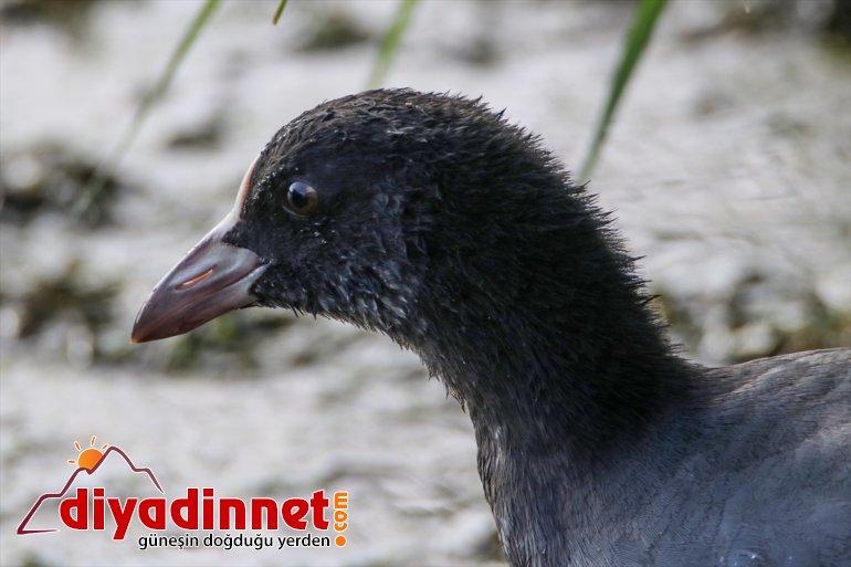 Milli IĞDIR Dağı Parkı, Ağrı popülasyonuyla - dikkati kuş çekiyor 9