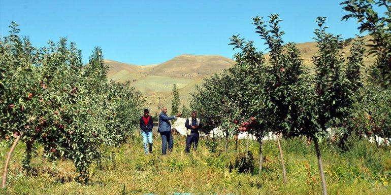 Muş'ta devlet desteğiyle kurulan elma bahçelerinde hasada başlandı