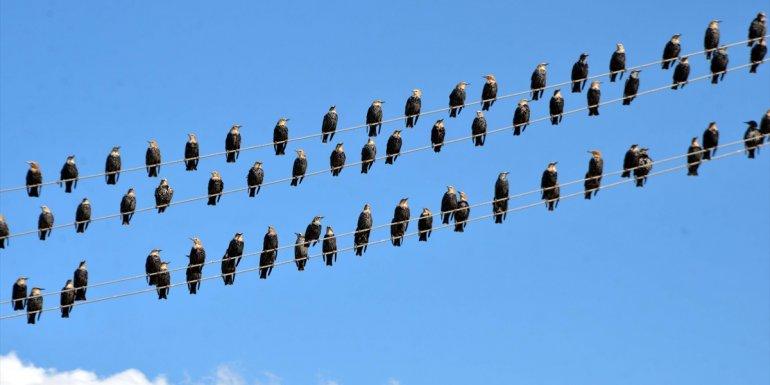 MUŞ - Kuşlar, beslenebilmek için hububat yığınlarının bulunduğu tarlalara akın ediyor1